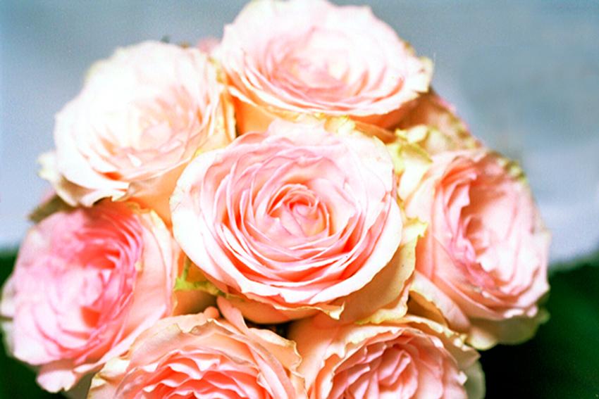 rosa_rosen